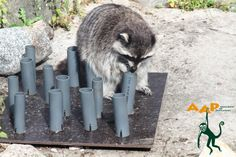 One of our raccoons, working on some enrichment in Helsinki Zoo.