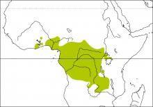 Black-bellied Seedcracker (Pyrenestes ostrinus)