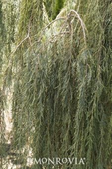 Tolleson's Blue Weeping Juniper - Gracefully arching branches make this tree-like form a favorite landscape specimen. Attractive, fine textured, string-like evergreen foliage. Great in containers. Evergreen.