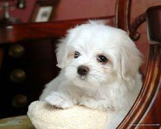 [72Pics] Cuddly White Maltese Puppies (Vol.1)  - 1600*1200 White Maltese Puppy - Maltese Maltese Puppies wallpaper 1