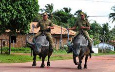 Ilha de Marajó - Pará - Pesquisa Google. Policiais andam montados em búfalos.