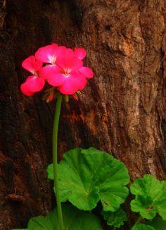 Pelargonium hortorum «malvón» Este es el malvón verdadero       El malvón  o geranio común  es una especie  del  género  Pelargonium cuyo nombre científico es Pel... Natural, Plants, Geraniums, Palm Trees, Shrubs, Landscaping, Plant, Nature, Planets