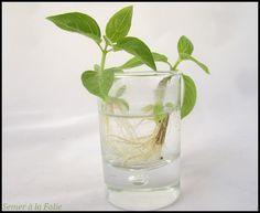 Comment faire pousser des graines ou noyaux de fruits exotiques 10 fruits tropicaux mang s - Comment avoir des citrons sur un citronnier ...