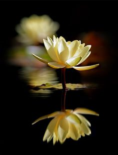 water lily / Reflection ~~