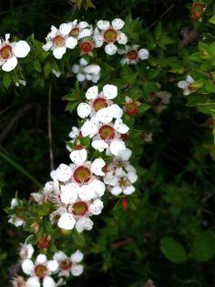 TEA TREE FLOWERS!!