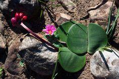 Haemanthus sanguineus (April fool) April Fools, The Fool, Plants, April Fools Pranks, April Fools Day