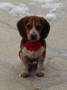 My beagle puppy - Echo