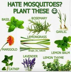 Keep mosquitoes away naturally with plants, in n your balcony or in your garden. Garden Pests, Herb Garden, Lawn And Garden, Container Gardening, Gardening Tips, Organic Gardening, Gardening Vegetables, Gardening Gloves, Outdoor Plants