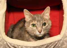 Lena is an adoptable Domestic Short Hair searching for a forever family near Milford, MA. Use Petfinder to find adoptable pets in your area.