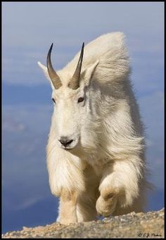 Mountain Goat by Kay Berry