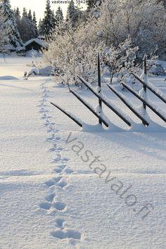 Jäniksenjäljet - jälki jänis jäniksen jäljet jäniksenjäljet jäniksenjälki käpälänjälki painauma hanki lumipeite talvi aita riukuaita maisema maalaismaisema talvimaisema pelto lato heinälato Lappi