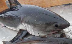 Juvenile Salmon Sharks Found on Oregon Beaches