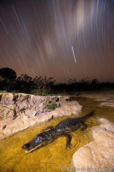Caiman at Night