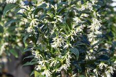 Sarcococca confusa,Sweet Box, Christmas Box, Evergreen shrub, Fragrant shrub, Winter blooms, Winrer Flowers, Fragrant flowers