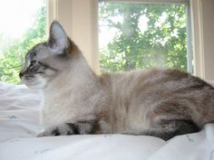 Blue Lynx Point Siamese - the blue eyes and the colors remind me a little of my Buttercup. Siamese Kittens, Cute Cats And Kittens, Cool Cats, Birman Cat, Matou, Beautiful Cats, Cat Life, Cat Breeds, Crazy Cats