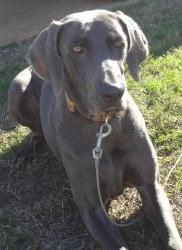 Ava is an adoptable Weimaraner Dog in Navarre, FL. Ava is a 2 year old female Weimaraner. She is very playful and loves to go on walks. Ava gets along with other dogs, and is UTD with all shots, and s...