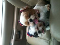 Red, White, and Puppies! My Grandpuppies Daisy and Cowgirl!