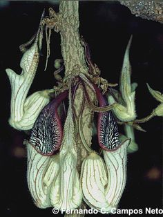 dutchmans pipe chamissonis