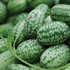 While most people have never heard of cucamelons, this fruit is definitely one you'll want to learn about. Here's how to grow it, harvest it and use it.