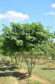 Trees on pinterest hedges tuin and kousa dogwood - Allee tuin idee ...
