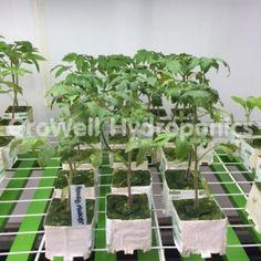 Moneymaker Tomato Plant Establishing in Rockwool in GroWell Hydroponics Sheffield