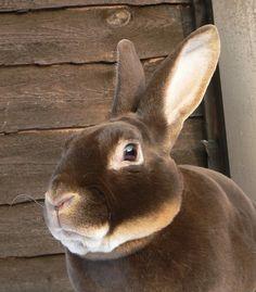 Palomino Rabbits wallpapers Wallpapers) – Wallpapers For Desktop Mini Rex Rabbit, Pet Rabbit, Funny Bunnies, Cute Bunny, Animals And Pets, Baby Animals, Rabbit Wallpaper, Beautiful Rabbit, Chocolate Rabbit