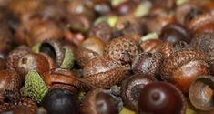 How To Easily Make Flour From Acorns (And Why You Should Learn) | Off The Grid News