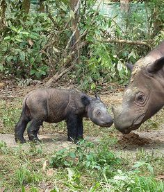 """RHINO BABY: Andatu the Sumatran rhino (born in June) is getting cuter every day. Andatu is the first rhino ever born in human care in Indonesia, and perhaps only the eighth Sumatran rhino born in human care in the world."""