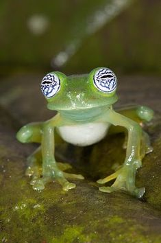 Yeah this is how I feel too after a long fun night with good wine!! Ghost Glass Frog (Centrolene ilex)