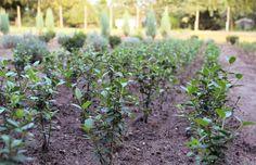 "Liguster Pflanzen Ligustrum Vulgare ""Atrovirens"" TOP-Qualität"