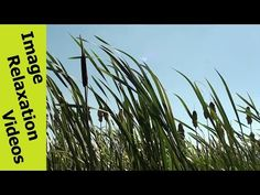 Wind Swaying Reeds & Rushes In Sky - Hypnotic Nature Hypnosis Relaxation Nature Sounds - 5 Minutes By IRV - http://www.imagerelaxationvideos.com/wind-swaying-reeds-rushes-sky-hypnotic-nature-hypnosis-relaxation-nature-sounds-5-minutes-irv/