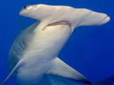 This Amazing Species is the Great Hammerhead Shark (Sphyrna mokarran) which is found around the world in warm termperate and tropical waters. Photo © Karl Dietz