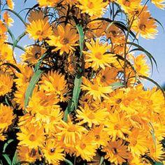 Maximillian Sunflower Sun Exposure: Full Sun Height/Habit: 4 - Spread: - Spacing: Hardiness Zone: 3 - 9 degrees F) Foliage Type: 4 - long, tapering at both ends, dark green. Sun Garden, Garden Plants, Outdoor Plants, Perennial Sunflower, Giant Sunflower, Sunflower Seeds, Spring Hill Nursery, Gardening Zones, Gardens