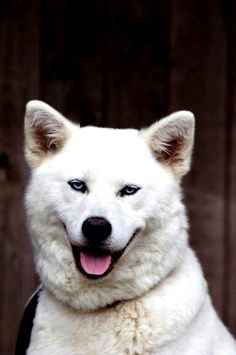 Akita - Top 10 Best Large Dog Breeds #dogs #pets #dogbreeds