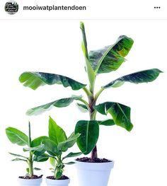 De bananenplant is de woonplant van de maand! Uiteraard in verschillende vormen en maten verkrijgbaar bij Intratuin Winschoten. Heb jij hem al in huis? Foto ---> @mooiwatplantendoen #bananenplant #bananas #bananen #woonplantvandemaand #wpvdm #lovebananas #plants #plantsofinstagram #plantsagram #intratuin #intratuinwinschoten #nature #tropisch #bananaplant #musa #dwarfmusa