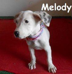03/09/15-Melody Labrador Retriever Mix • Baby • Female • Medium Baja Animal Sanctuary San Diego, CA