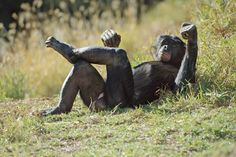 Credit: Frans Lanting/Corbis Indigenous people who have dwelled among bonobos in the Congo forest have many legends about how bonobos and ma...