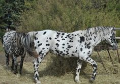 Apache Kid Galahad Stallion - Greenwood Ranch Ghostwind Appaloosa Stallion
