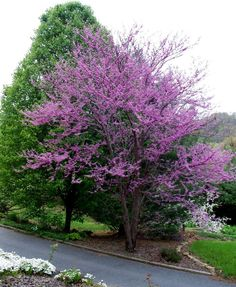 dogwood trees | The wild dogwood trees were full, but the hybrid pink and red dogwoods ...