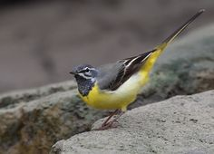 Grey Wagtail by woody L. chu, via 500px