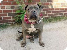 Ridgewood, NJ - Mastiff/Staffordshire Bull Terrier Mix. Meet BABY a Dog for Adoption.