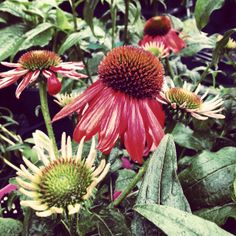 Coneflower @ www.sailers greenhouse.com
