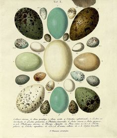 Hand-coloured engravings of bird's eggs from 1818 by JF Naumann