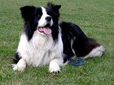 Raça de cachorro Border Collie (Foto: Divulgação)
