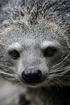 Binturong (AKA Asian bearcat)