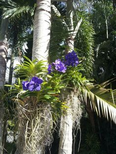 Orchids grow beautiful on palm trees