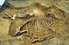 An Anglo-Saxon woman was found buried with a cow in a late 5th century cemetery in Oakington, outside of Cambridge. Anglo-Saxon warriors have been known to be buried with their horses, but this is the first time a woman has been found buried with a domestic animal. It's the first cow burial ever found in Europe. Her high status is confirmed by the rich adornments found on her body. Grave goods include copper alloy brooches, three necklaces and hundreds of amber and glass beads.