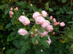 Rose 'Astrid Lindgren'.