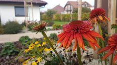 Ešte v neskorej jeseni stále kvitnúca Echinacea a žlto kvitnúca Rudbeckia. Plants, Plant, Planets