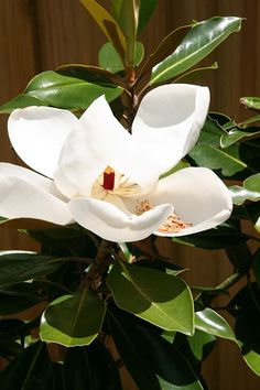 Magnolia Little Gem (Magnolia grandiflora 'Little Gem') Magnolia Grandiflora Little Gem, Magnolia Little Gem, Shade Garden, Garden Plants, House Plants, Deciduous Trees, Trees And Shrubs, Plant Painting, Plants
